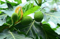Breadfruit on tree mini Thai fruit green leaf .breadfruit Fresh fruit sake on the fruit tree is translated into food. And medicine Royalty Free Stock Photos