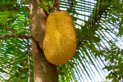 Breadfruit on the tree. Stock Photos