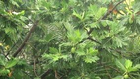 Breadfruit tree under pouring rain. Tropical downpour. Breadfruit tree under pouring rain stock footage