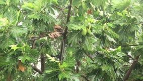 Breadfruit tree under pouring rain. Tropical downpour stock video footage