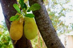 Breadfruit on tree Royalty Free Stock Image