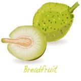 Breadfruit  vector  Stock Photos