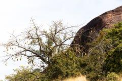 Breadfruit w Afryka Fotografia Royalty Free