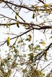 Breadfruit w Afryka Zdjęcia Stock