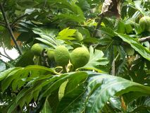 Breadfuit Artocarpus altilis. Breadfruit or Artocarpus altilis on the tree Stock Photos