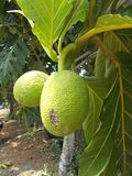 Breadfuit tree Artocarpus altilis. Breadfruit or Artocarpus altilis on the tree Royalty Free Stock Images
