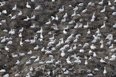 Breading colony of northern gannets Morus bassanus Royalty Free Stock Photography