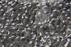 Breading colony of northern gannets Morus bassanus Royalty Free Stock Image