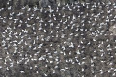 Breading colony of northern gannets Morus bassanus Royalty Free Stock Images