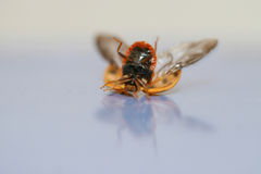 Break dancing lady bug. A lady bug on its back attempting to right itself on a slick reflective surface Stock Image