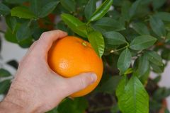 Break fruit from a tree, orange Royalty Free Stock Photography