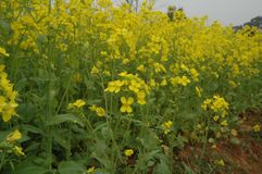 Rape flower. In the break out of the melodious Washeng, first displayed in front is a golden carpet, oh, that`s rape opened Stock Image