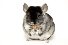 Breakfast. Chinchilla with nut stock photo