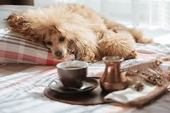 Dog on the bed at home and coffee into a cup on a tray. Breakfast in bed. Dog on the bed at home and coffee into a cup on a tray stock photography