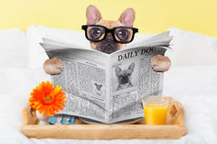 Breakfast in bed. French bulldog dog having nice breakfast or lunch in bed, reading the newspaper stock photos