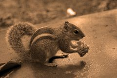 Breakfast feast. Squirrel eating its breakfast royalty free stock images