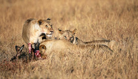 Breakfast at the Masai Mara. A group of lions eat a killed wildbeest in the grasslands of Masai Mara, Kenya Stock Photography