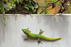 Breakfast is served. A Golddust Day Gecko (Phelsuma, laticauda) waiting and waiting and waiting for breakfast to be served Stock Image