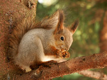 Breakfast for squirrel Royalty Free Stock Photography