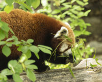 Breakfast is tasty. Red Panda eating leaves for his morning meal Royalty Free Stock Photography