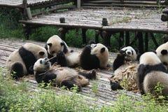 Babies Family Giant Panda, Chengdu China Royalty Free Stock Photo