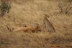 Breakfast Time. Photo from a Safari in Tsavo East National Park, Kenya stock photos