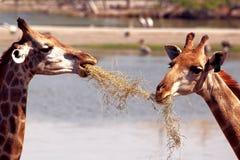 Two giraffe Royalty Free Stock Photo