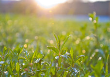 Breaking dawn. Morning dew on the green fresh grass Stock Images