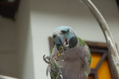 Breaking free. Picture of a parrot trying to break free royalty free stock images