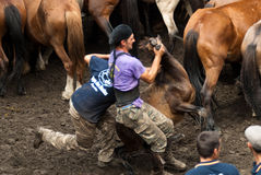 Breaking a little wild horse. PONTEVEDRA - AUG 2: Two fighter holds a small wild horse in a traditional celebration Haircut the beasts on August 2, 2009 in Royalty Free Stock Images