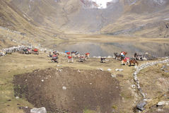 Breaking up high camp and packing mules Stock Image