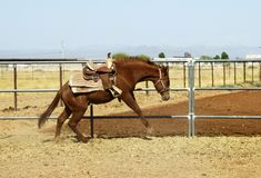 Breaking a young horse. For riding Royalty Free Stock Images