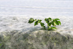 Breakthrough. Potato plant growing through covering fleece Royalty Free Stock Images