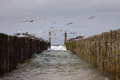 Breakwaters with seagulls on the coastline of the North Sea Royalty Free Stock Image