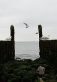Breakwaters with seagulls on the coastline of the North Sea Stock Photos