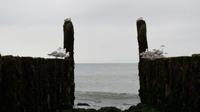 Breakwaters with seagulls on the coastline of the North Sea Royalty Free Stock Images