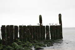 Breakwaters with seagulls on the coastline of the North Sea Stock Photo