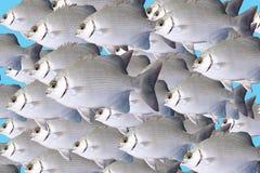 bream θάλασσα πτήσης ψαριών Στοκ Εικόνα