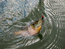 Bream. Bluegill Bream on water surface Stock Image