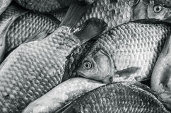 Bream . Black and white photo, toning Stock Image