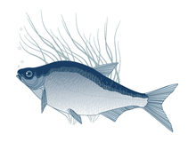 Bream Stock Image