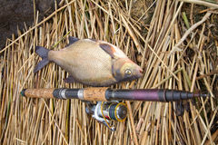 Bream from a cane thickets Stock Images