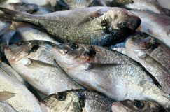 Bream caught fresh in the Mediterranean Sea Royalty Free Stock Images