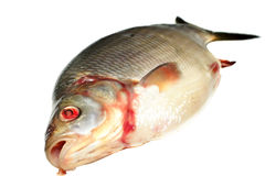 Bream fish Stock Image