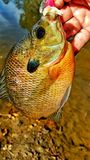 Bream fish. Close up holding bream fish water scales fins Stock Photography