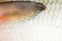 Bream fish river close up scales seafood background concept stock photos