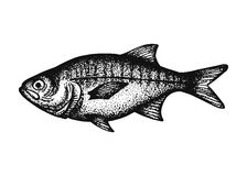 Bream fish sketch Royalty Free Stock Photo