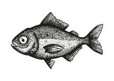 Bream fish sketch vector Stock Photos