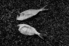 Bream fish. Two bream fish on grass background. Black and white stock images