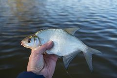 Bream in fisherman`s hand Stock Images